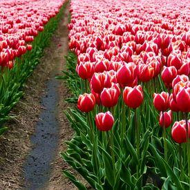 Tulips from Holland van Caroline Lichthart