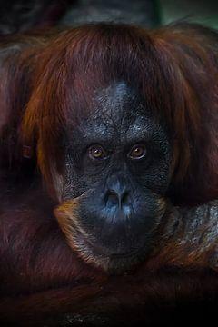 Das traurige Gesicht eines Orang-Utans ist eine Nahaufnahme, der phlegmatische Blick eines Humanoide von Michael Semenov
