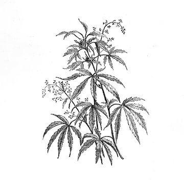 Hanfpflanze antiker Stich von 1871 von Peter Hermus