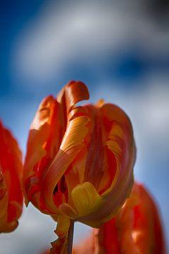 Oranje Tulpen  van Leanne lovink