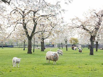 schapen en lammetjes in de lente onder bloeiende kersenbomen van anton havelaar