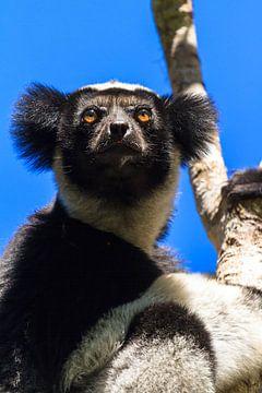Indri Indri portret van Dennis van de Water