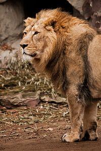 Een krachtig Aziatisch leeuwenmannetje tegen de achtergrond van een donkere grot, bamboe ligt onder