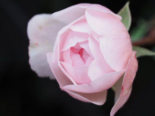 A rose is a rose ... (2) van