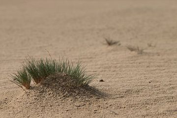 Gras met dauw in de duinen van Jani Moerlands