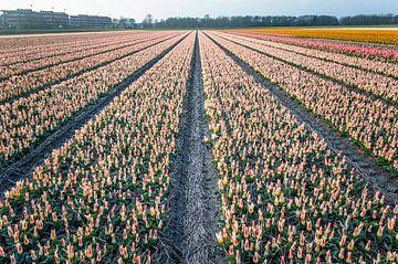 Tulpenveld in Noordwijk van Richard Steenvoorden