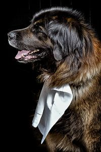 Hund - Lionberger beim Diner von Christine Vesters Fotografie