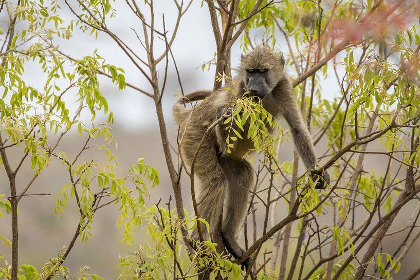 Baviaan in het Kruger National Park van Visueelconcept