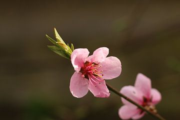 Pfirsichblüte von Pim van der Horst