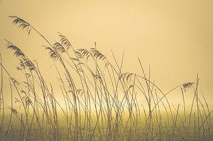 Riet in de mist. Reed in the mist. Reed im Nebel. Reed dans la brume van