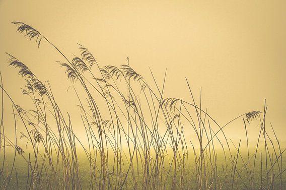 Riet in de mist. Reed in the mist. Reed im Nebel. Reed dans la brume