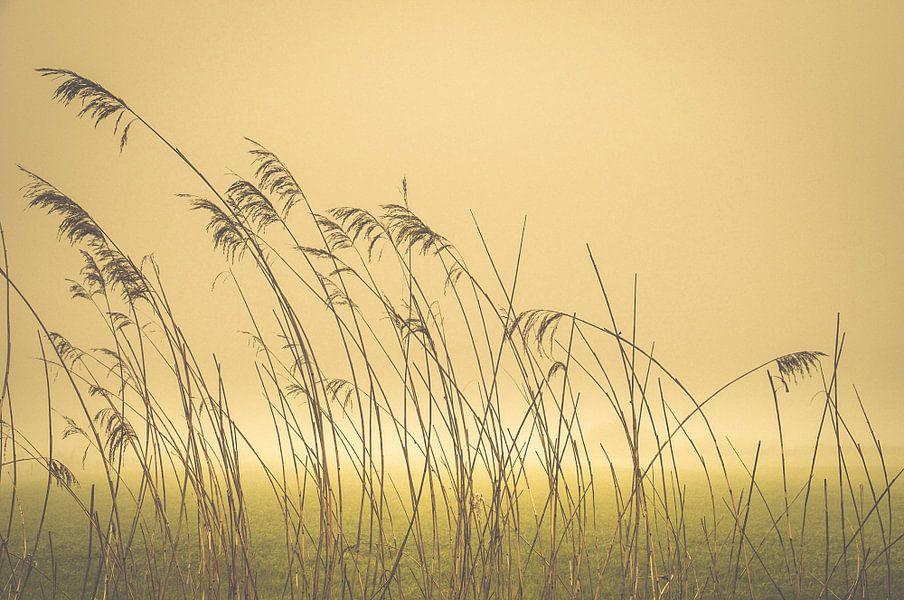 Riet in de mist. Reed in the mist. Reed im Nebel. Reed dans la brume van Kitty Stevens