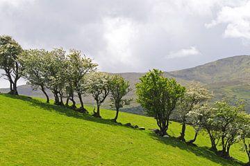 Irish Trees von Andrea Fettweis
