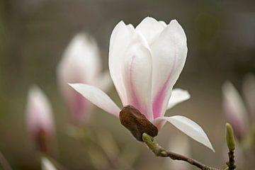 Magnolia van Barbara Brolsma