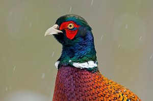 portret van Fazant in de sneeuw van