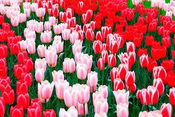 Rood roze witte tulpen von Dennis van de Water