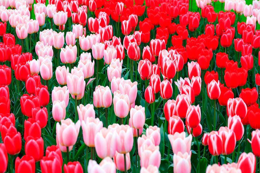 Rood roze witte tulpen van Dennis van de Water