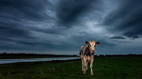 Koe in leeg weiland