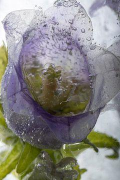Paarse klokjesbloem in ijs 3 van Marc Heiligenstein