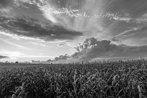 Sonnenstrahlen über einem Maisfeld van Rolf Pötsch