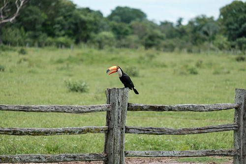 Toekan op houten hek