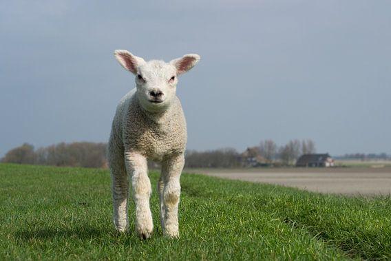 Rennend lam op de dijk bij Wierum, lente in Friesland