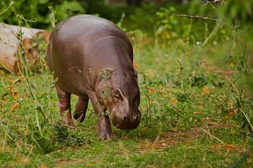 Il regarde astucieusement, longe l'herbe verte de la prairie. Mignon petit hippopotame nain libérien sur Michael Semenov