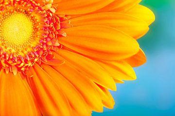 LP 70482384 Orange Daisy sur BeeldigBeeld Food & Lifestyle