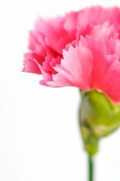 Close up roze anjerbloem van Natascha Teubl