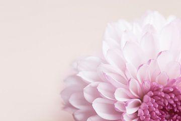 roze dahlia van Kristof Ven