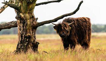 Schotse hooglander 9 van Jan Peter Nagel
