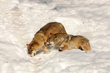 Vechtende wolven van Antwan Janssen