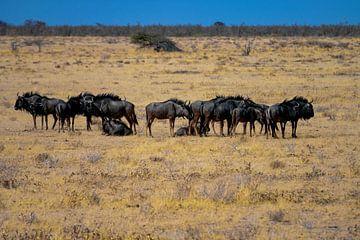 Gnu-Herde von Merijn Loch