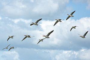 Vlucht grauwe ganzen van