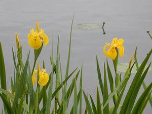 gele lis aan de waterkant