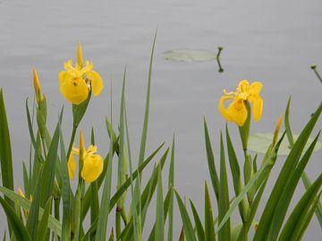 Gelbe Iris am Wasser von Joke te Grotenhuis