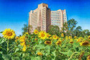 Een veld vol bloeiende zonnebloemen voor het Gasunie hoofdkantoor in Groningen