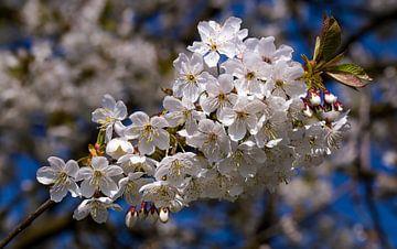 Kirschenblüte in der Betuwe, Niederlande (2) von Adelheid Smitt