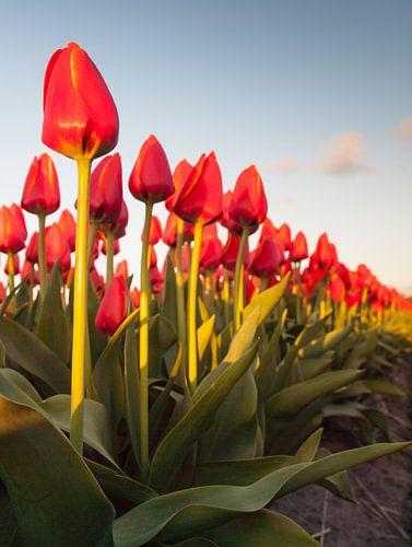 tulpenrij van