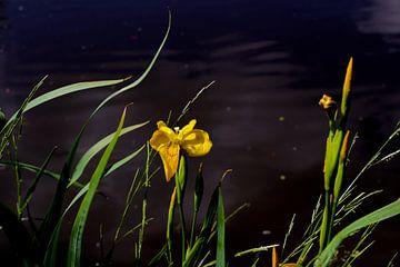 Iris bloem van Marianna Pobedimova