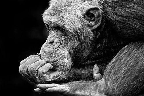 Chimpansee is aan het dromen. van