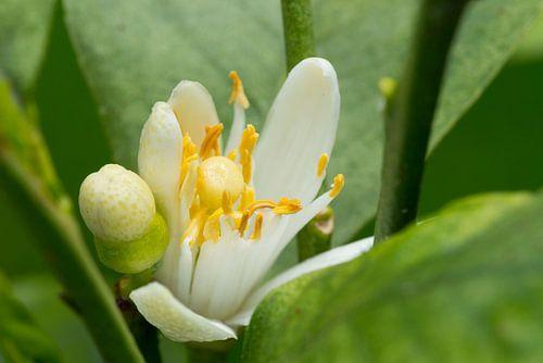 Macrofoto van bloem en knop van citrusplant