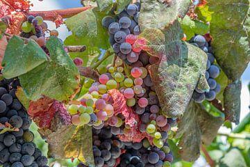 Leuchtend bunte Weinrebe von Erwin Blekkenhorst