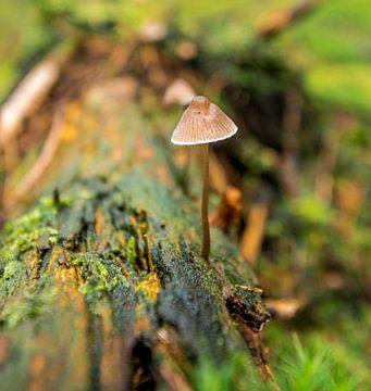 paddenstoel in herfstbos van Michel Knikker