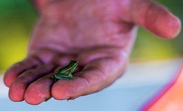 Tropischer Mini-Frosch zur Hand im peruanischen Amazonasgebiet in Iquito, Südamerika von John Ozguc