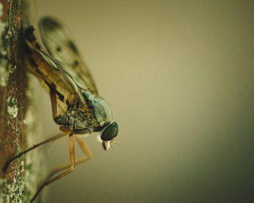 Ringpootroofvlieg op de uitkijk van Jeffrey Hoorns