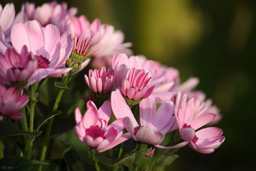 rosa Margheriten sur Meleah Fotografie