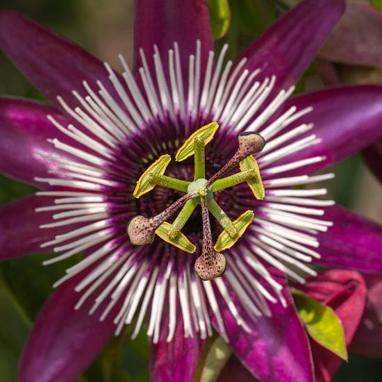 Passsiflora bloem