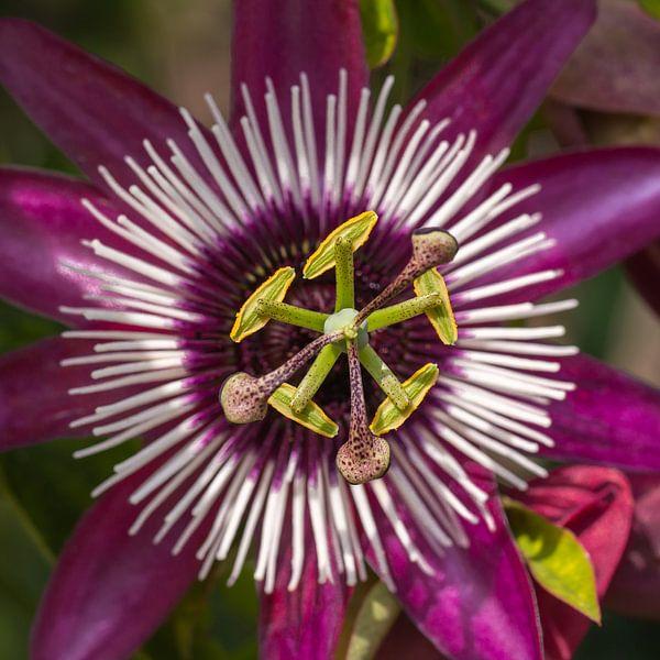 Passsiflora bloem van Hilda Weges