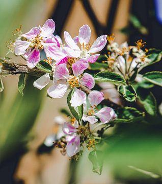 Bloesem in bloei (appelboom) van Daphne Groeneveld